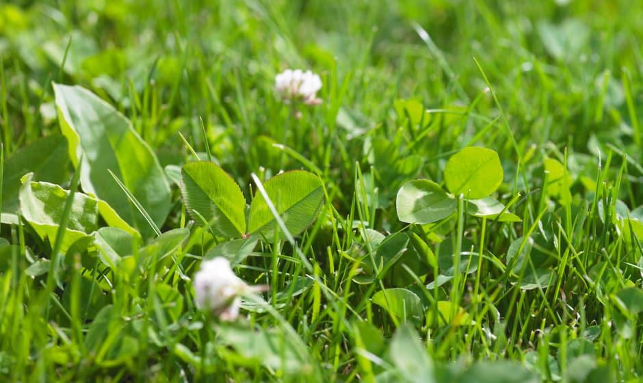 Eliminer les mauvaises herbes avant la scarification