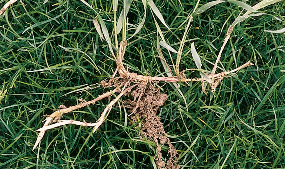 Quecke im Rasen