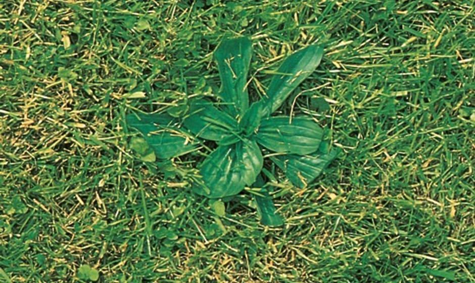 Grand plantain