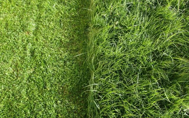 Den Rasen so kurz wie möglich mähen